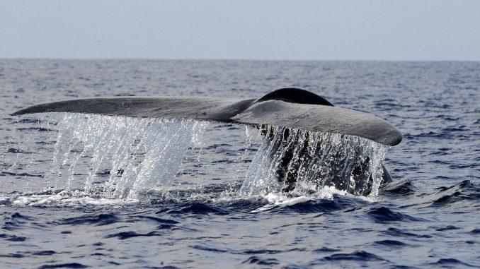 Baleine bleue saint laurent